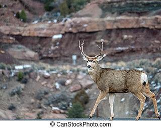 Whitetail Deer Making Eye Contact - Whitetail buck gazing...