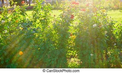 Blooming rose in the garden on a sunny day slomo. - Blooming...
