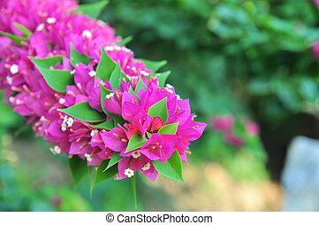 Bougainvilleas flowers