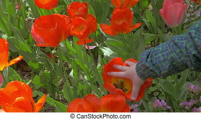 View of small boy touching red tulips in the field