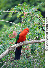 Australian male King parrot - Australian male red and green...