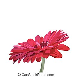 Gerbera pink flower isolated on white