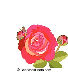 Delicate red rose flower isolated