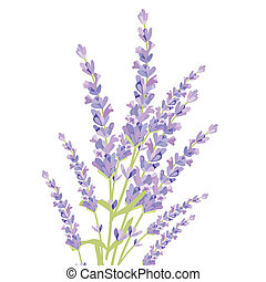 Lavender flowers isolated . Gentle blossom floral bouquet....