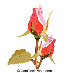 Delicate rose flower buds isolated