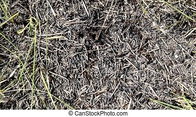 Ants running around the anthill on the ground. The chaotic...