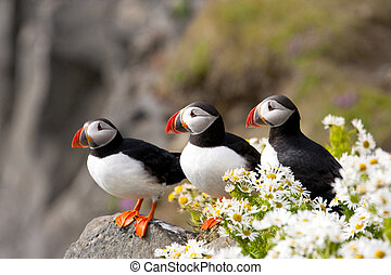 Nature's Sweet Surprises - Three Atlantic puffins on rocky,...