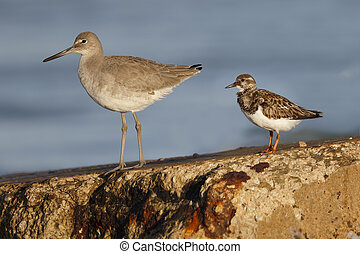 Willet and Ruddy Turnstone perched on a seawall - Florida -...