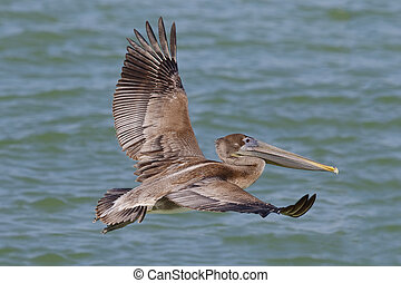 Brown Pelican in flight - St. Petersburg, Florida