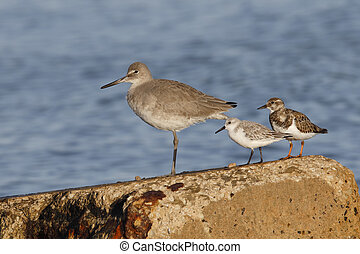 Willet, Sanderling and Ruddy Turnstone on a seawall -...