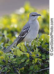 Northern Mockingbird - St. Petersburg, Florida