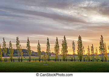 A row of poplar trees back lit by late afternoon sun line a fence in front of a field in the southern highlands of New South Wales, Australia
