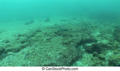 underwater life diving Galapagos islands Equador South...