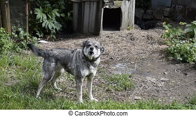 Barking dogs around the booth. A gray dog on a chain of...