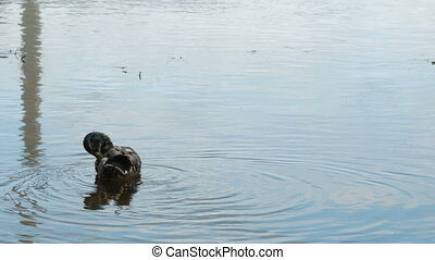 Two wild ducks swimming in water.