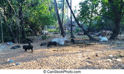 cow and pigs are grazed in road roofing felt. India,