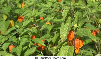 physalis alkekengi plant in garden. Plant orange lantern. -...