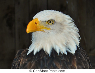 Gorgeous American Bald Eagle - The symbol of freedom in the...
