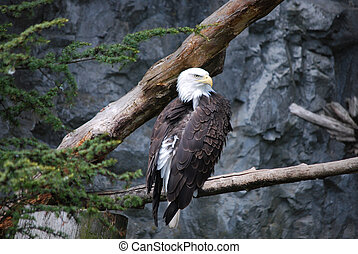 Bald Eagle Sitting in a Tree Branch - Bald eagle sitting on...