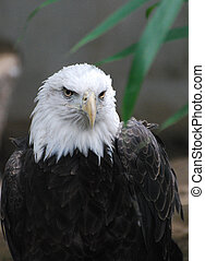 Wild Bald Eagle Bird - Bald eagle with a very stern look.
