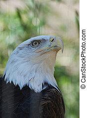 Amercan Bald Eagle - Hooked beak on an American Bald Eagle...