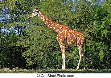 Giraffe in Natural Habitat - A Giraffe in natural habitat on...