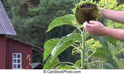 male hand wipe sunflower with ripe head in green garden. 4K...