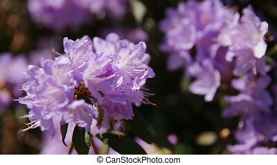 Rhododendron. Bright flowers on green natural background....