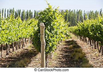 Detail of vineyards in Argentina - Vineyard in San Juan, in...
