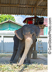 Elephant swaying. Tourist attraction in Koh Chang. Thailand...