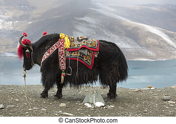Yak at the Namtso Lake in Tibet - Road of the Friendship,...