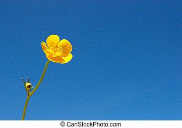 Caltha palustris - buttercup - single buttercup against blue...