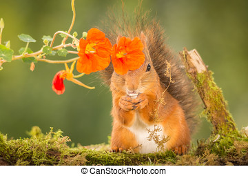 pirate - red squirrel is standing behind flowers