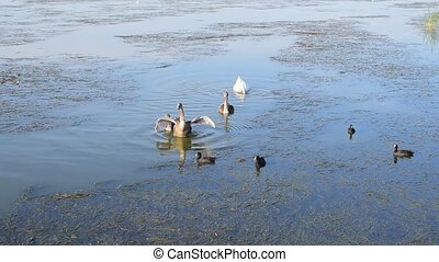 Grey cygnets with white mute swan and many coots - Grey...