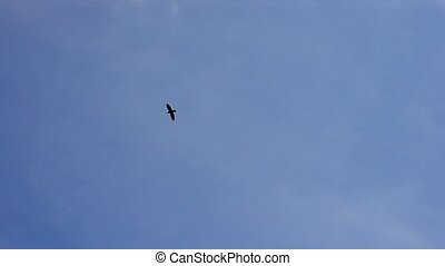 Bird soaring against blue sky and white clouds - Bird...