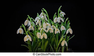 Snowdrops blooming blossom time lapse. Closeup opening flowers