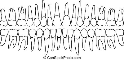 dentition teeth vector - dentition on white, teeth vector...