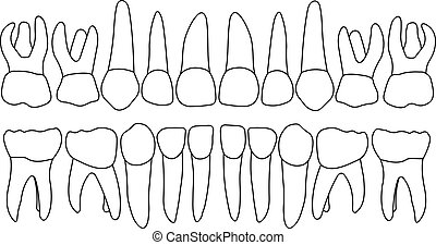 Vector primary teeth front - Anatomically correct baby teeth...