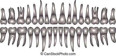 3d dentition vector - 3d dentition on white in vector teeth...