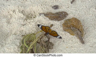 Monarch butterfly on sandy beach - Monarch butterfly -Danaus...