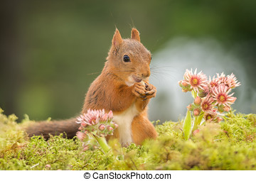 settle - red squirrel is standing with flowers