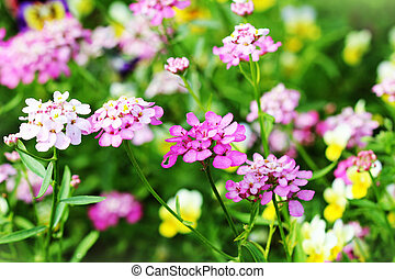 Blossoming colorful Iberis amara flowers . Also called...