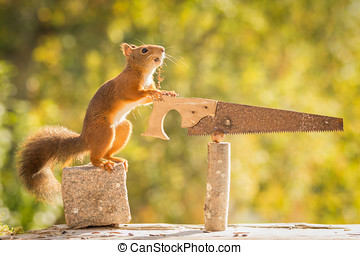 workaholic - red squirrel standing on stone with saw and nut...