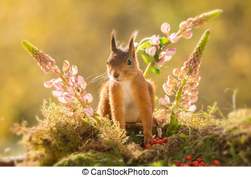 lupine squirrel - red squirrel standing between lupine