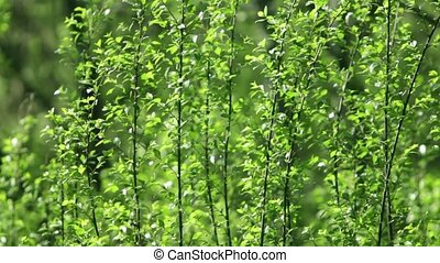 vivid green foliage - fresh green forest in spring and...