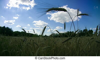 Wheat Field and Spikelets. Time Lapse - Wheat Field and...