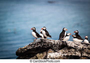 Puffins in Iceland during summer