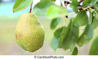 Ripe pear on tree in the orchard shaking on the hard wind.