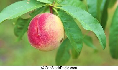 Ripe Peaches on tree in the orchard shaking on the hard wind.