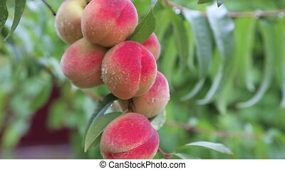 Ripe Peaches on tree in the orchard shaking on the hard...